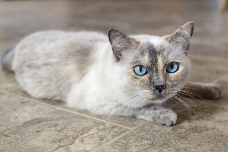 a-beautiful-blue-eyed-siamese-mix-cat-feline-kitty-kitten-with-neutral-tones-fur.jpg