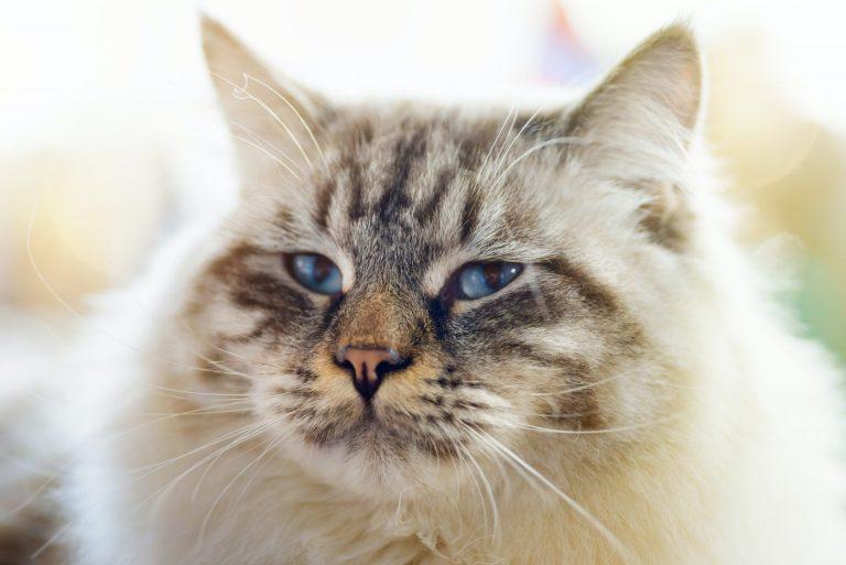ragamuffin-cat.jpg